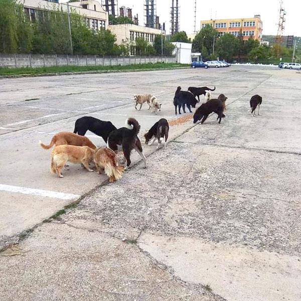Streunende Hunde auf der Fahrt in Rumänien